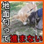 子犬が地面を匂う散歩の意味は?
