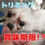 子犬のトリミング賞味期限!?