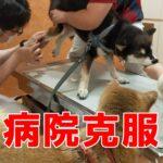 【誰でもできる】子犬が病院嫌いにならない為の小さな1つのコツ
