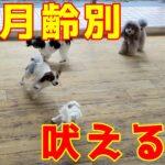 【子犬の月齢別】吠えるを教えないコツ