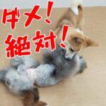 子犬の噛みグセは「闘っちゃダメ!」〇〇を使ってしつける方法とは?