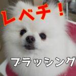 【この3つでレベチ⁉】子犬のブラッシング道具