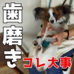 子犬の歯磨きが絶対にできるようになる『〇〇×〇〇』